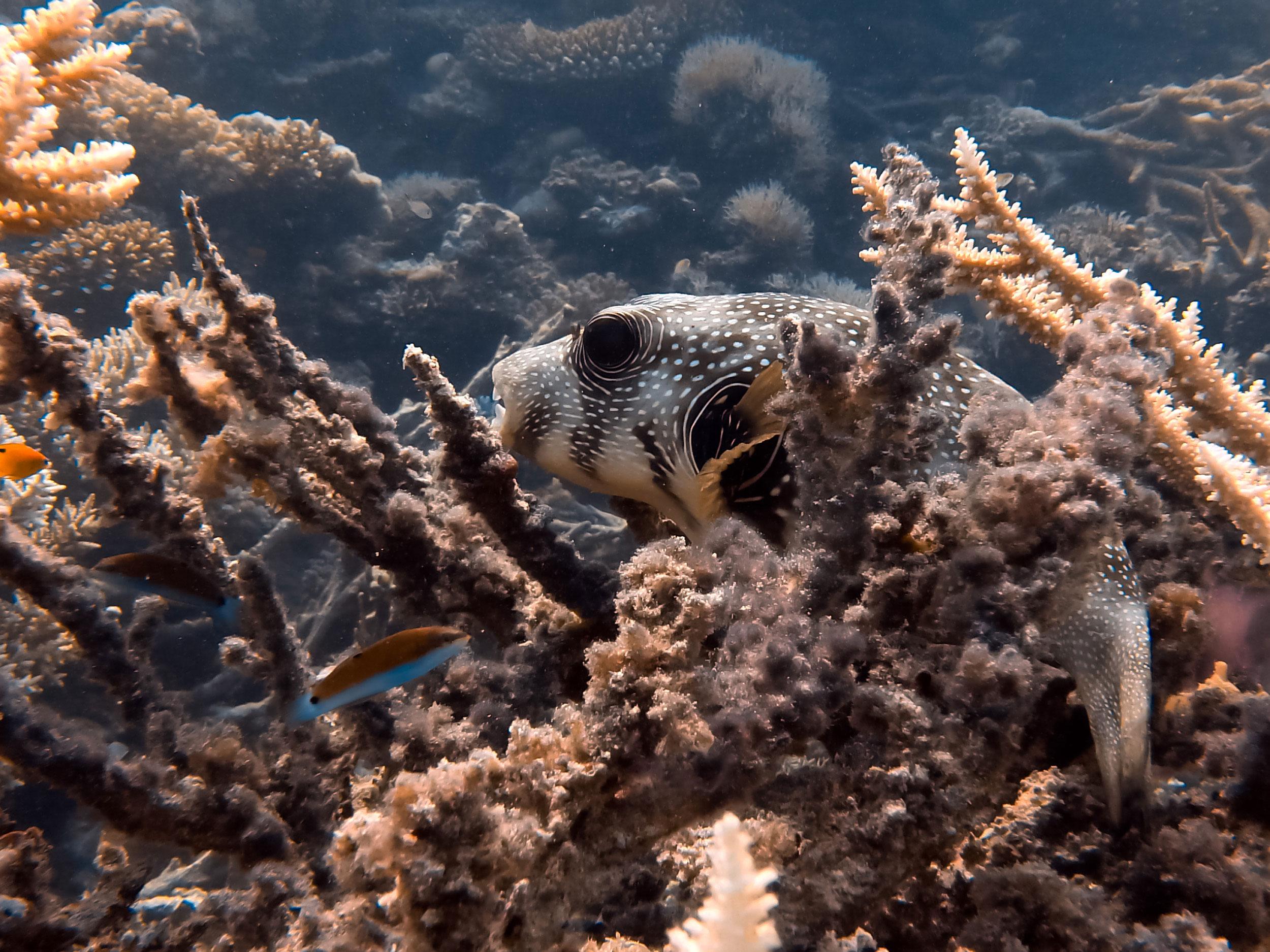 Kugelfisch beim schlafen in Koralle
