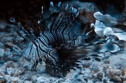 Rotfeuerfisch im Schatten eines Felsüberhangs