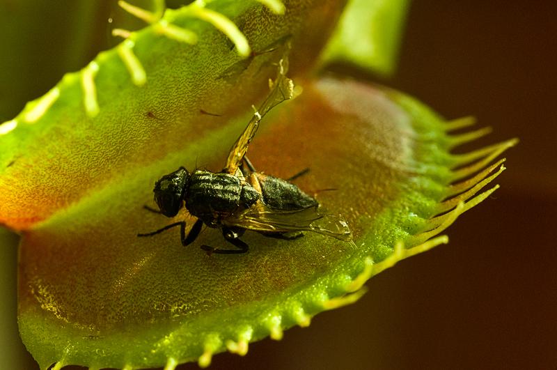 Fliege vs Venus-Fliegenfalle