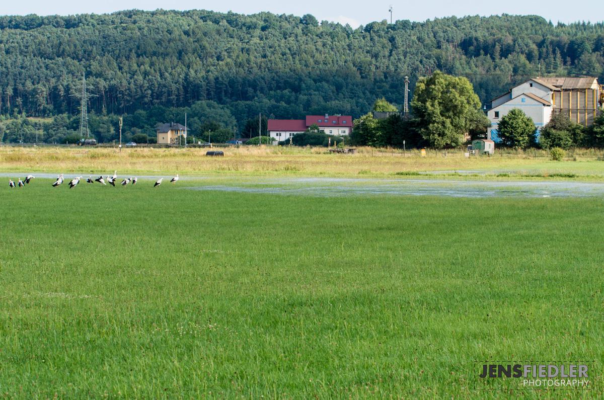 Störche auf überfluteten Wiese