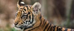 Tigerjunges und andere Tiere im Zoo Frankfurt am Main