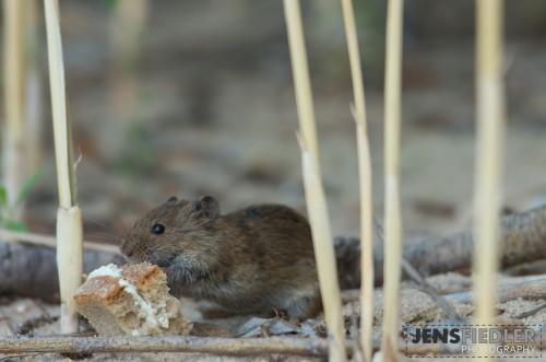 Maus im Schilf am Brombachsee