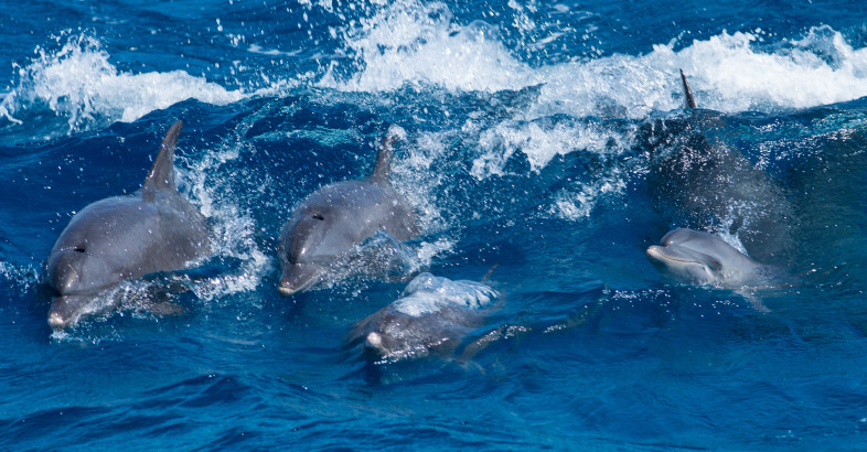 Delphine vor Hurghada